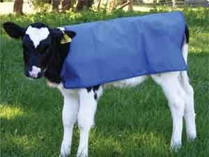 Preparing Your Calves for show – Halter and Lead